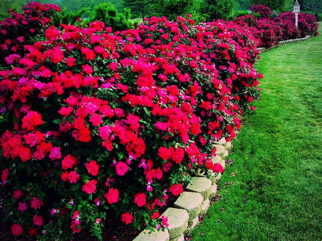 Red rose hedgerow lining a lawn separated by a small accent retaining wall.
