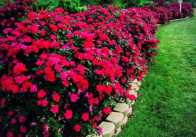 Beautiful hedge row of red roses with a retaining wall border separating it from the lawn.